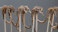 Dried Sea Horse with Samples