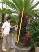 Cycas revoluta ( sago palm, cycas, cycads )