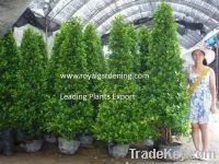 Ficus Panda Pyramid shape