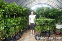 Ficus panda 3 steps