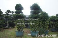 Ficus microcarpa vase shape