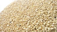High Quality Natural White Sesame Seed