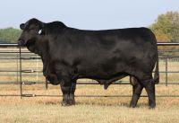 Brahman cattles  for sale