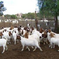 Pure Boer Goats