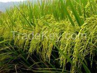 Long Grain