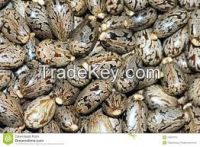 costor seeds
