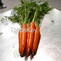 2014 New Crop China import fresh carrots