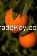USDA Oranges