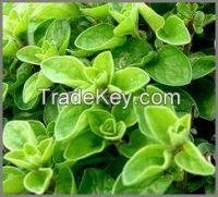 Organic Marjoram leaves
