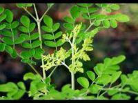 Moringa seeds - Moringa Olifera - Moringaceae ( Anna + 84988332914 )