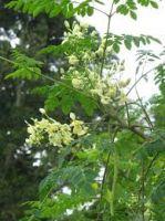 Manufacturer Multivitamin Herbal Extract Organic Moringa Leaves Powder ( Anna + 84988332914 )