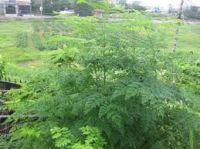 Moringa Dried Leaves Leaf Extract Powder ( Anna + 84988332914 )
