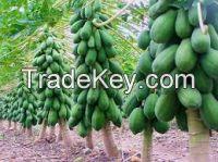 High quality red lady seeds papaya seed for sale pawpaw( Anna + 84988332914)