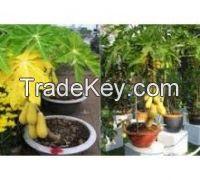 Papaya seeds ( Anna + 84988332914 )