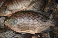 Tilapia Frozen Black and Red Tilapia Fish,frozen fish fillet red tilapia fillet