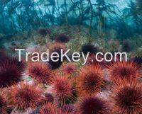 Sea Urchin, sea cucumber