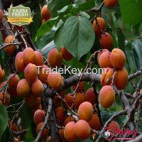 Apricot Dried Organic Kashmiri Khobani Premium Grade