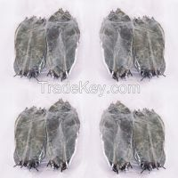 Dried Soursop ( Graviola / Guanabana ) Leaves  SOURSOPLEAVES-GO.COM