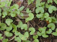 Centella Asiatica project in Madagascar