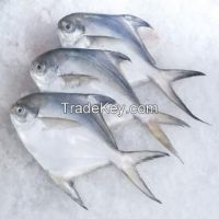Frozen Silver Pomfret, Black, Red, Chines