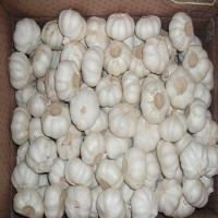 New Crop 5cm-6.5cm pure  white fresh garlic