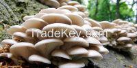 100% Organic Oyster Mushroom